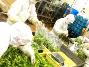 農業生産法人 こと京都株式会社 製造プロセス2